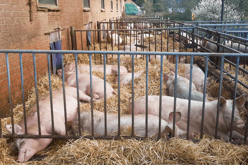 Hassler Qualitätsversprechen glückliche Schweine im Stall